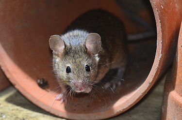 House mouse (Mus musculus) in a flowerpot. Dorset, UK March.