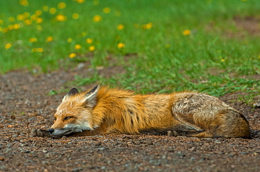 Red fox (Vulpes vulpes) at rest, Shoshone National Forest, Wyoming, USA May