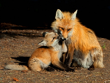 Red fox (Vulpes vulpes) cub with female near den, Shoshone National Forest, Wyoming, USA May