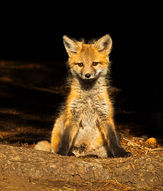 Red fox (Vulpes vulpes) cub sitting portrait, Shoshone National Forest, Wyoming, USA May