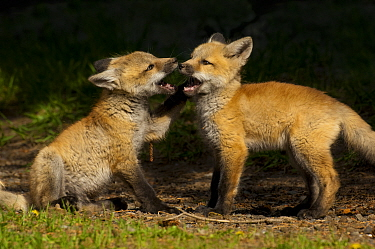Red fox (Vulpes vulpes) two cubs playing, Shoshone National Forest, Wyoming, USA May