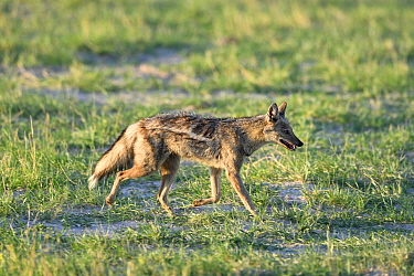 Side-striped jackal (Canis adustus) walking across savanna, Hwange National Park, Zimbabwe