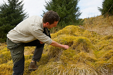 Project Officer Dave Bavin conducting woodland surveys and checking Field vole burrows at potential release sites for Pine marten (Martes martes) part of Pine Marten Recovery Project, Vincent Wildlife...