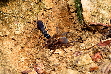 Spider Hunting Wasp (Anoplius nigerrimus) with Spider (Trochosa ruricola) prey, dragging paralysed spider back to burrow, Oxfordshire, England, UK, August