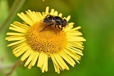 Hoverfly (Eristalinus sepulchralis) seen here taking nectar from the flowers of Fleabane, Oxfordshire, England, UK, August