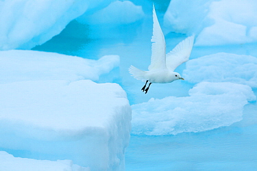 Ivory gull (Pagophila eburnea) rflying from sea ice in the Arctic Ocean, Svalbard Islands, Norway, July