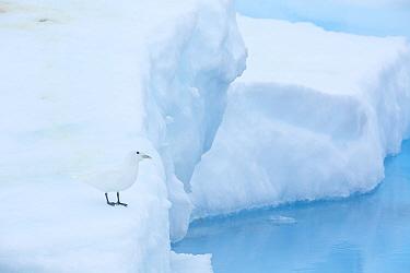 Ivory gull (Pagophila eburnea) resting on sea ice in the Arctic Ocean, Svalbard Islands, Norway, July