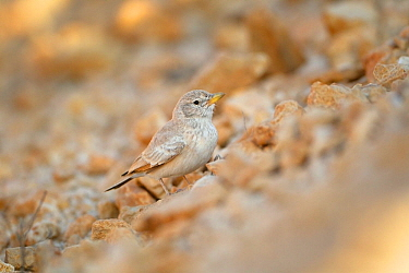 Desert lark (Ammomanes deserti) on ground, Jabal Al Qamar, Dhofar, Oman, November
