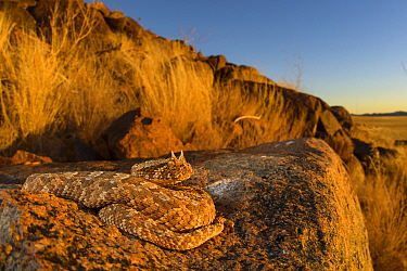 Horned adder (Bitis caudalis) camouflaged in its environment, Namib Naukluft National Park, Namibia June