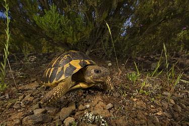 Hermann's tortoise (Testudo hermanni) Alberes Mountain, Catalonia, Spain. Non-ex.