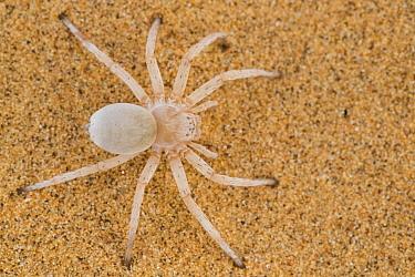Wheel spider (Carparachne aureoflava)  Dorob National Park, Namibia.