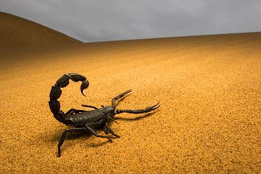 Black scorpion (Parabuthus villosus) Dorob National Park, Namibia.