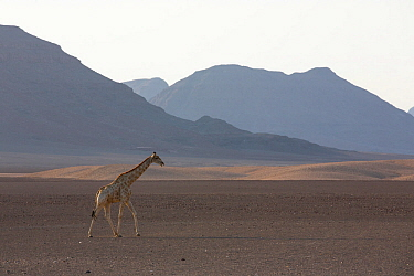 Giraffe (Giraffa camelopardalis) in habitat. Kaokoland, Namibia.