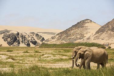 Desert elephant (Loxodonta africana) in habitat, Kaokoland, Namibia.