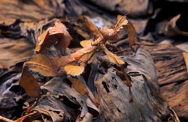Maclay's stick insect (Extatosoma tiaratum) camouflaged in dead leaves. Captive.