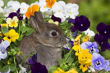 Baby Netherland Dwarf rabbit sitting amongst pansies, USA.