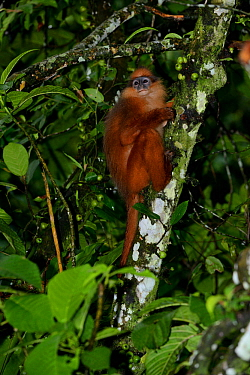 Sumatran surili / Mitred leaf monkey (Presbytis melalophos) Sumatra. Endemic species