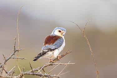 Pygmy falcon (Polihierax semitorquatus castanonotus) adult female Samburu,  Kenya