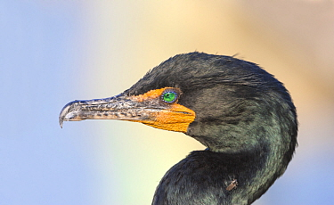 Double-crested cormorant (Phalocrocorax auritus) with louse fly. Everglades National Park.  Florida, USA. February.