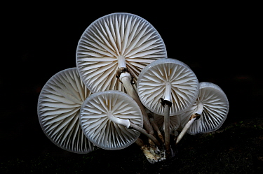 Porcelain / Beech tuft toadstools (Oudemansiella mucida) New Forest, Hampshire, UK October