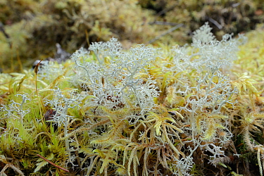 Reindeer moss (Cladonia portentosa) lichen growing on the mossy floor of a pine wood, Glengarry forest, Lochaber, Scotland, UK, September.