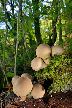 A cluster of Stump puffball fungi (Lycoperdon pyriforme) emerging from a rotting log in deciduous woodland, LWT Lower Woods reserve, Gloucestershire, UK, October.