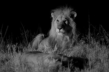 Male Marsh pride lion (Panthera leo) with lioness on a moonless night, Masai Mara, Kenya. Taken with infra red camera.
