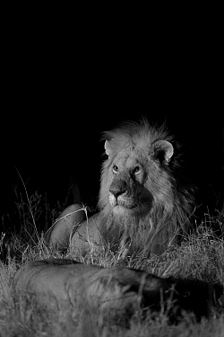 Male Marsh pride lion (Panthera leo) with lioness on a moonless night, Masai Mara, Kenya. Taken with infra red camera, September