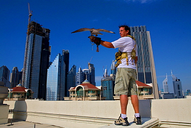 Peregrine Falcon (Falco peregrinus) and falconer, on roof tops in Dubai city, used for control of pigeon population, United Arab Emirates, January 2010