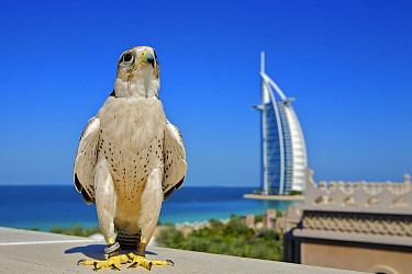 Lanner Falcon (Falco biarmicus) in Dubai with Burj Al Arab in the background, used to control urban pigeon population, Jumeirah Beach. United Arab Emirates (UAE), January 2010