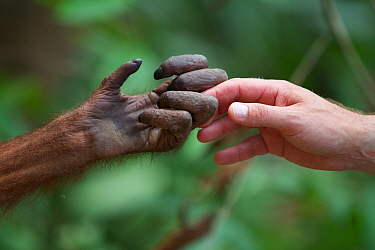 Orangutan (Pongo pygmaeus) hand holding / touching  human hand, Sepilok Orang Utan Sanctuary, Sandakan, Sabah Malaysian Borneo. Model released.