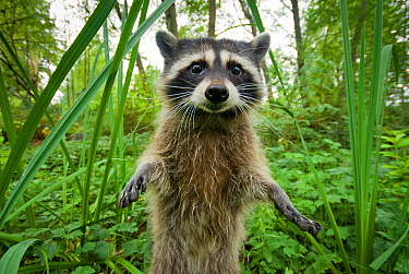 Raccoon (Procyon lotor) standing up investigating camera, portrait, Stanley park, Vancouver, British Columbia, Cananda, September.
