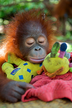 Orangutan (Pongo pygmaeus) orphan  juvenile in nursery, sleeping on toys. Nyaru Menteng Orangutan Reintroduction Project, Central Kalimantan, Borneo, Indonesia.