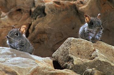 Rufous elephant shrew (Elephantulus rufescens) Botswana