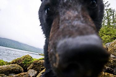 Vancouver island black bear (Ursus americanus vancouveri) investigating remote camera, Vancouver Island, British Columbia, Canada, August.
