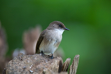 Swamp Flycatcher (Muscicapa aquatica) Queen Elizabeth National Park, Mweya Peninsula, Uganda, Africa.