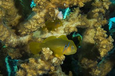 Lemon goby (Gobiodon citrinus) on staghorn coral (Acropora), Gubal Island, northern Red Sea.
