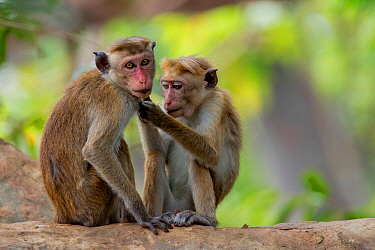 Toque macaques (Macaca sinica) allogrooming, Yala National Park, Southern Province, Sri Lanka.