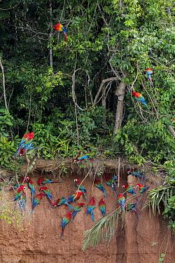 Scarlet macaws (Ara macao) and Red and green macaws (Ara chloroptera) at  clay lick  close to the Tambopata river. Tambopata Reserve, Madre de Dios, Peru.