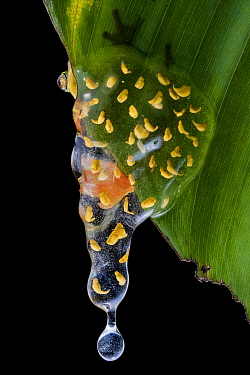Sarayacu clownfrog (Dendropsophus sarayacuensis)  with its clutch of eggs developing and starting to drop off from a leaf into the water below, where the tadpoles will develop. Sumaco National Park, N...