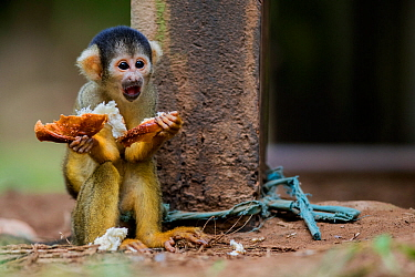 Common squirrel monkey (Saimiri sciureus) baby, illegally taken from the wild and kept  tied up as a pet in an indigenous community in the Peruvian Amazon.  Tambopata Reserve, Madre de Dios, Peru.Marc...