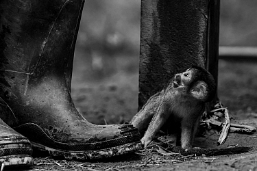 Common squirrel monkey (Saimiri sciureus) baby, illegally taken from the wild and kept on a short rope, as a pet in an indigenous community in the Peruvian Amazon. Tambopata Reserve, Madre de Dios, Pe...