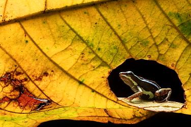 Anthony's poison-frog (Epipedobates anthonyi) seen through hole in leaf. Buenaventura Reserve, El Oro, Ecuador.