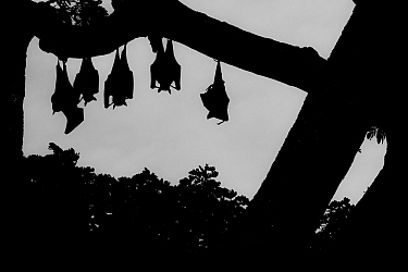 Indian flying foxes (Pteropus giganteus) roosting in  tree,Yala National Park, Southern Province, Sri Lanka.