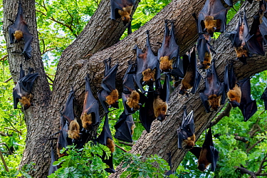 Indian flying foxes (Pteropus giganteus) roosting in tree, Yala National Park, Southern Province, Sri Lanka
