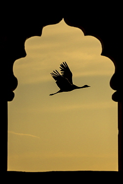 Demoiselle crane (Anthropoides virgo) flying silhouetted and framed by Jarokha  (carved windows) of a Haveli or townhouse.   Khichan, Western Rajasthan, India. December.