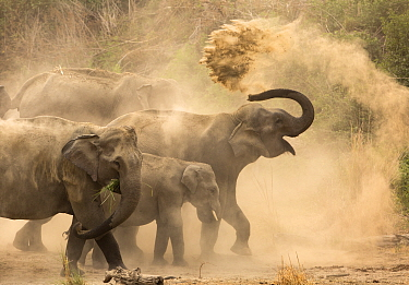 Asiatic elephants (Elephas maximus), dust bathing at dawn. Jim Corbett National Park, India.