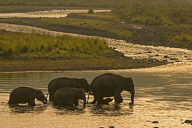 Asiatic elephant (Elephas maximus), herd drinking water and crossing Mountain River at dawn, Jim Corbett National Park, India.