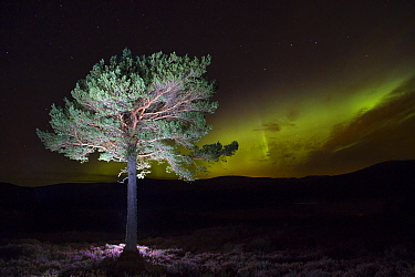 Scots pine (Pinus sylvestris) with Northern lights / Aurora borealis lighting up the night sky in background, Monadhliath Mountains, Cairngorms National Park, Scotland, UK, October 2015.