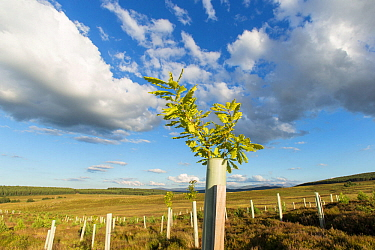 Oak sapling (Quercus robor) growing in tree guard on newly planted area of woodland protected by deer fence, near Duthil, Cairngorms National Park, Scotland, UK, July 2016.